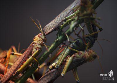 228_locusts2_sml