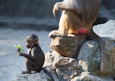 4856_baboons1_sml