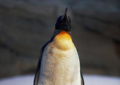 6191_penguin1_sml