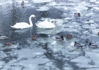 7811_swans3web